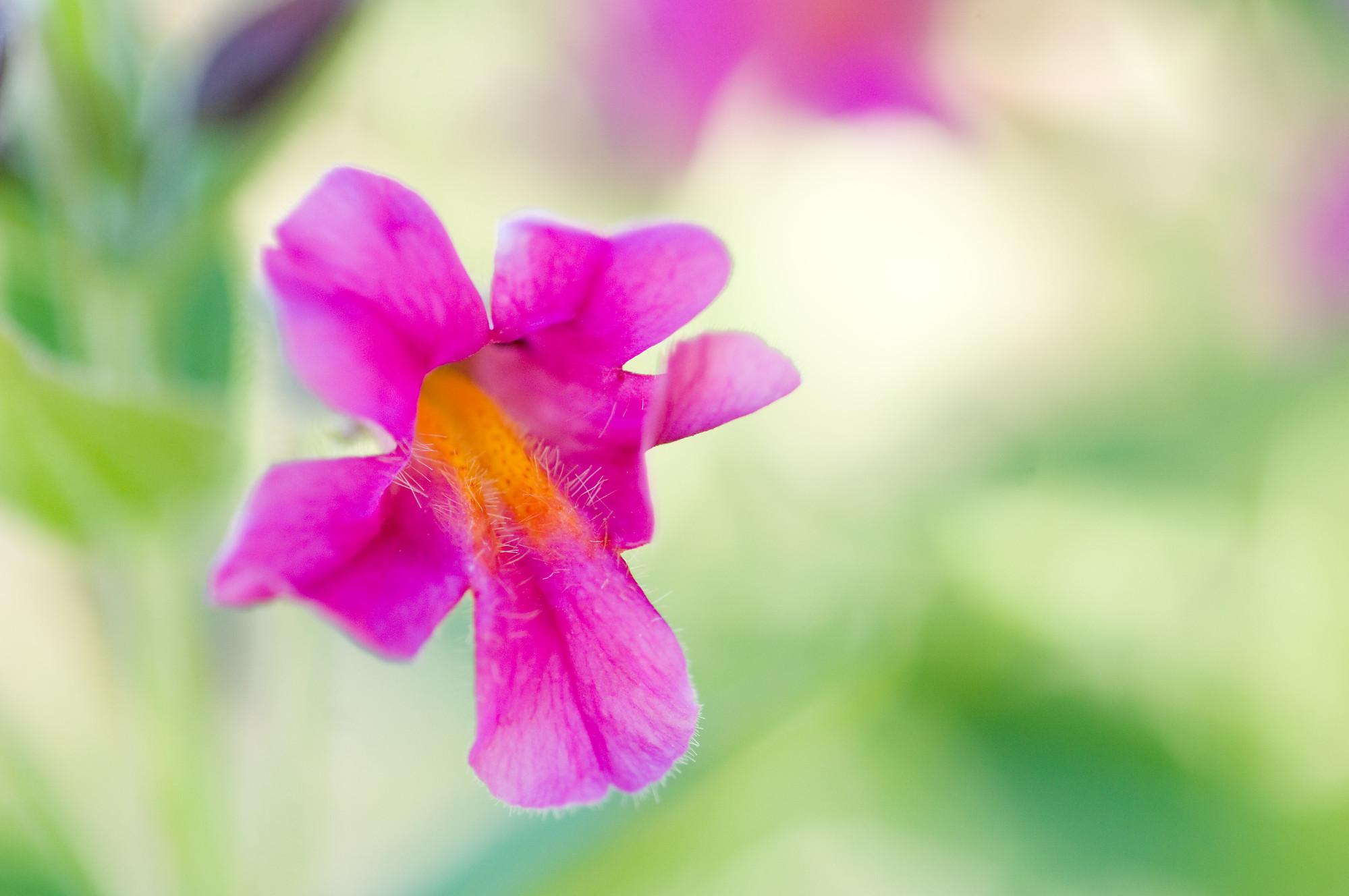 Hakea Thérapie - élixirs - Pink Monkey Flower