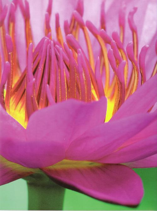 Hakea Thérapie - Lotus